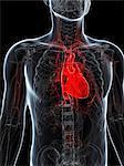 Healthy heart, computer artwork.