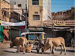 Sacred cows and rickshaw in main street of Bikaner, Bikaner district, Rajasthan, India