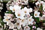 Beautiful flowering oriental cherry - Sakura. Spring morning
