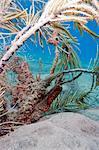 Longsnout seahorse (Hippocampus reidi), Dominica, West Indies, Caribbean, Central America