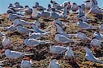 South American terns (Sterna hirundinacea) near Rio Deseado, Puerto Deseado, Santa Cruz, Patagonia, Argentina, South America
