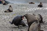 Antarctic fur seal (Arctocephalus gazella) bulls establishing mating territories at the abandoned Stromness Whaling Station, South Georgia Island, South Atlantic Ocean, Polar Regions