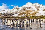 King penguins (Aptenodytes patagonicus), Peggoty Bluff, South Georgia Island, South Atlantic Ocean, Polar Regions