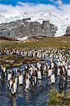 King penguins (Aptenodytes patagonicus), Gold Harbour, South Georgia Island, South Atlantic Ocean, Polar Regions