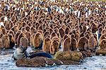 King penguin (Aptenodytes patagonicus) chicks, Gold Harbour, South Georgia Island, South Atlantic Ocean, Polar Regions