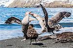 Northern giant petrel (Macronectes halli) fighting over dead fur seal carcass, Gold Harbour, South Georgia, South Atlantic Ocean, Polar Regions