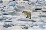 Adult polar bear (Ursus maritimus) drying out on the ice in Bear Sound, Spitsbergen Island, Svalbard, Norway, Scandinavia, Europe