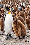 King penguin feeding a chick (Aptenodytes patagonicus), St. Andrews Bay, South Georgia Island, Polar Regions