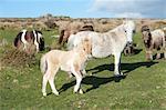 Ponies and foal on Dartmoor, Devon, England, United Kingdom