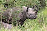 Black rhino (Diceros bicornis), Masai Mara, Kenya, East Africa, Africa