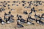 Barnacle geese (Branta leucopsis) in stubble field, Islay, Scotland, United Kingdom, Europe