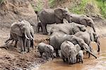 Elephants (Loxodonta africana) at Mara River, Masai Mara National Reserve, Kenya, East Africa, Africa