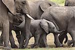 Elephants (Loxodonta africana), Masai Mara National Reserve, Kenya, East Africa, Africa