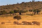 Elephant herd (Loxodonta africana), Masai Mara National Reserve, Kenya, East Africa, Africa
