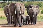 Elephant (Loxodonta africana) herd walking to the river to drink, Masai Mara National Reserve, Kenya, East Africa, Africa