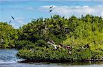 Frigate bird colony in the Codrington lagoon, Barbuda, Antigua and Barbuda, West Indies, Caribbean, Central America