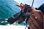 Fishing for Black sea bass, Centropristis striata, atlantic ocean, somewhere off the coast of georgia, near Savannah, Thunderbolt, Tybee Island.