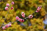 Red plum blossoms, Nara Prefecture