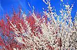 Plum blossoms, Wakayama prefecture
