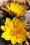 Adonis flowers, Saitama Prefecture