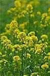 Field mustard, Saitama Prefecture