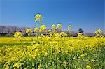 Cherry trees and rapeseed field, Saitama Prefecture