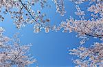 Cherry blossoms, Yamanashi Prefecture