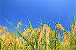 Blue sky and rice ears