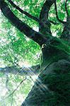 Beech tree and rays of light