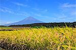 Rice ears and Mount Fuji