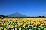 Sunflower field and Mount Fuji