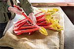 Farmer inspecting rhubarb