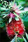 A Crimson Bottlebrush shrub (Callistemon citrinus)