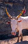 Asia, India, Karnataka, Hampi, Sule bazaar.  A cow with decorated horns.