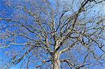 Black alder tree, Hokkaido