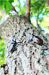 Beetles on oak tree
