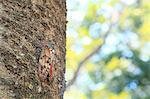 Cicada on cherry tree