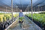 Plant nursery worker with wheelbarrow