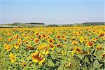 Sunflowers field under the hills. Summer landscape.