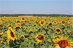 Sunflowers field under the hills