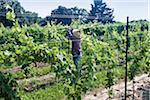 Man tying up vines in organic vinyard, Niagara, Ontario, Canada
