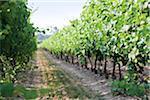 Between rows of grapevines in vineyard, Niagara Region, Ontario, Canada