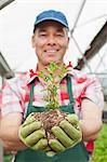 Mature man holding plant in soil in garden centre, portrait