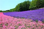 Flower field, Hokkaido