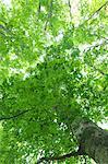 Beech forest, Hokkaido
