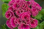 Polyantha flowers