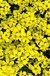 Sorrel flowers