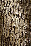 Pine tree cortex