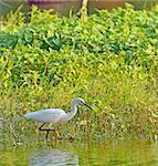 little egret (Egretta garzetta) looking for food