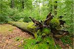Old Mossy Fallen Tree Trunk in Beech Forest (Fagus sylvatica), Spessart, Bavaria, Germany